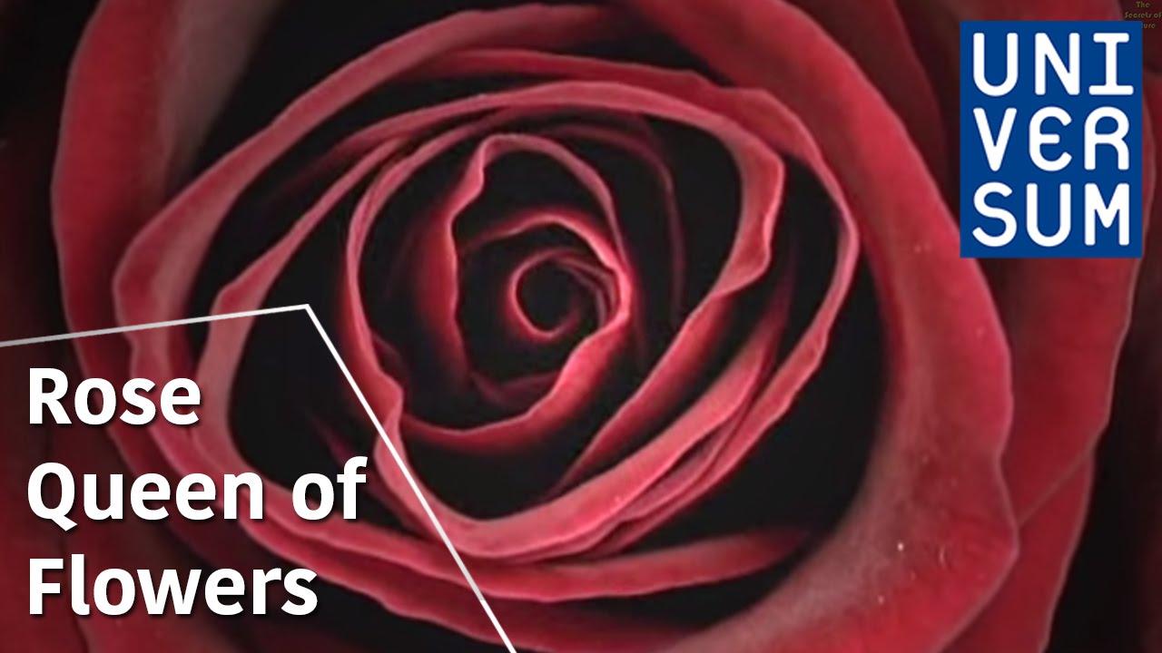 Rose Queen of Flowers