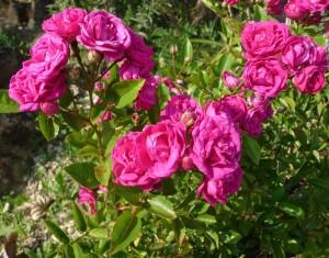 Le rosier Verdun